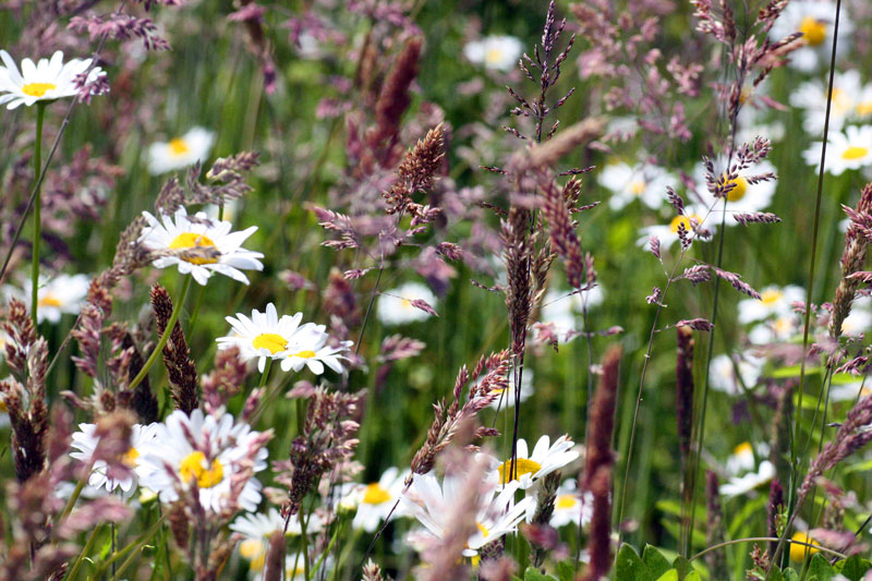 Daisies and common velvet grass (Holcus lanatus).