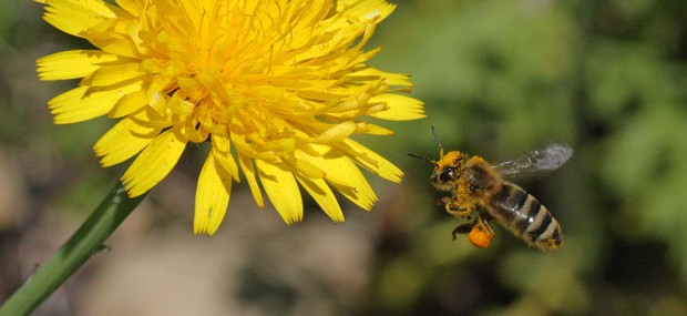 Honey-bee-approaching-dande