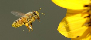Honey-bee-on-yellow-flower