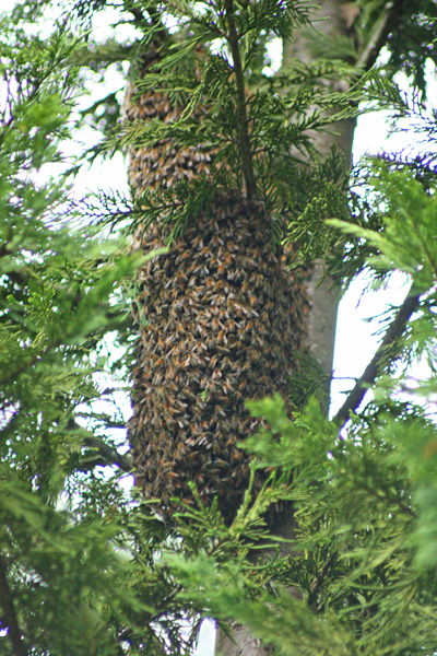 The quest: a fairly large swarm from the top-bar hive.