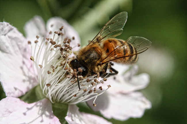 Honey-bee-just before the nectar dearth