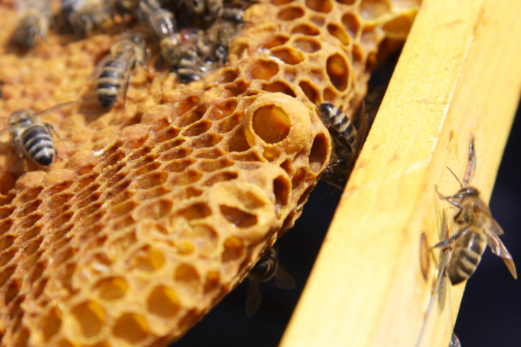 Is It A Swarm Cell Or A Supersedure Cell Honey Bee Suite