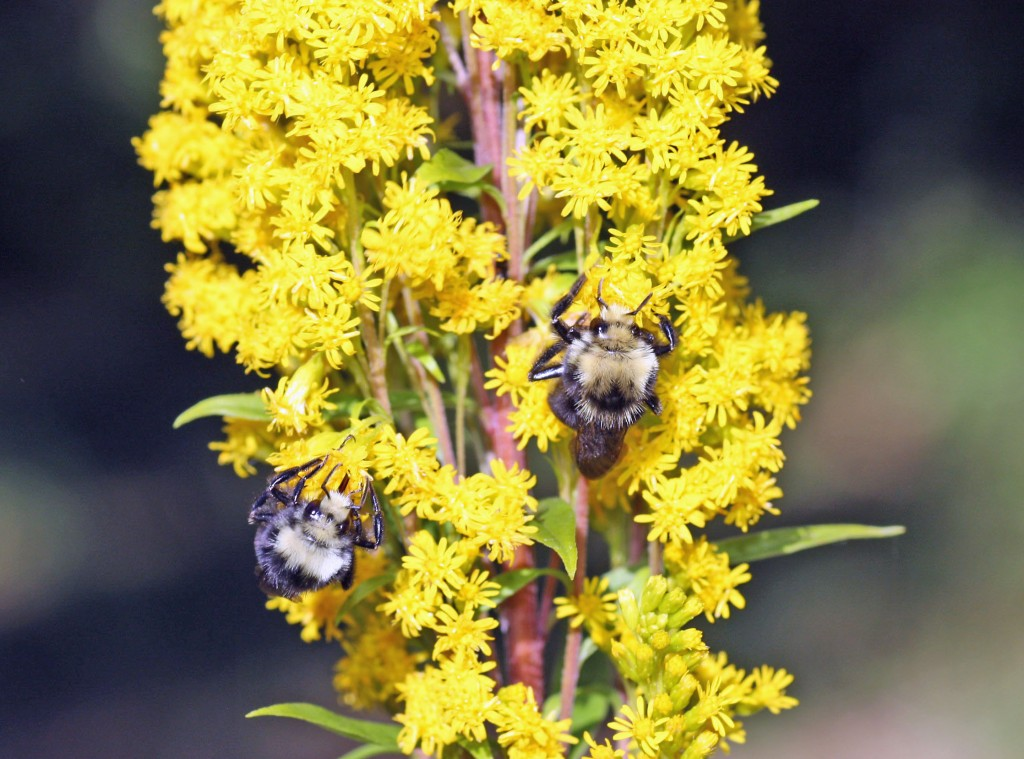 Goldenrod A Late Summer Feast For The Bees Honey Bee Suite