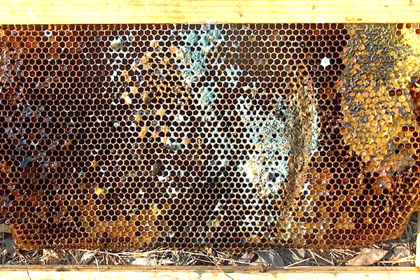Ick Mold In My Hive Honey Bee Suite