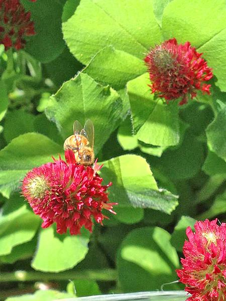 Crimson Clover In Bloom Honey Bee Suite
