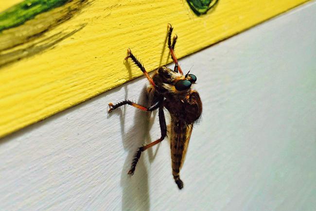 Wayne-Gillispie-robber-fly