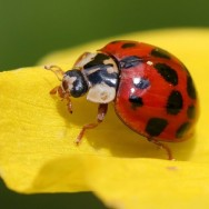 Lady bug on a yellow petal.