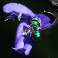 Osmia-aglaia-5