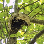 Yellowjacket-nest