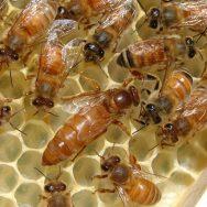 Queen-bee-Pixabay photo