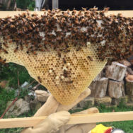 capped-honey-above-laying-worker-nest