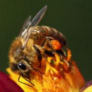 Honey-bee-suite turns seven honey bee on dahlia