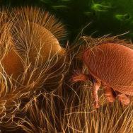 Varroa-destructor-on-honey-bee-600px