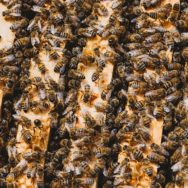 Honey bees on the top bars of a Langstroth hive.